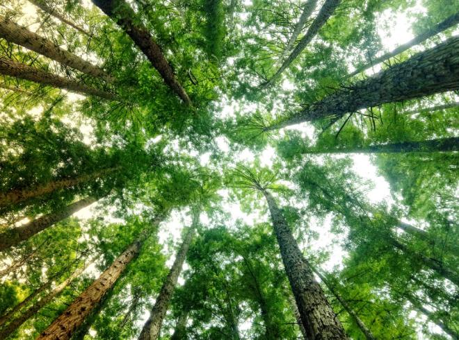 Redwood forest in Warburton, Victoria